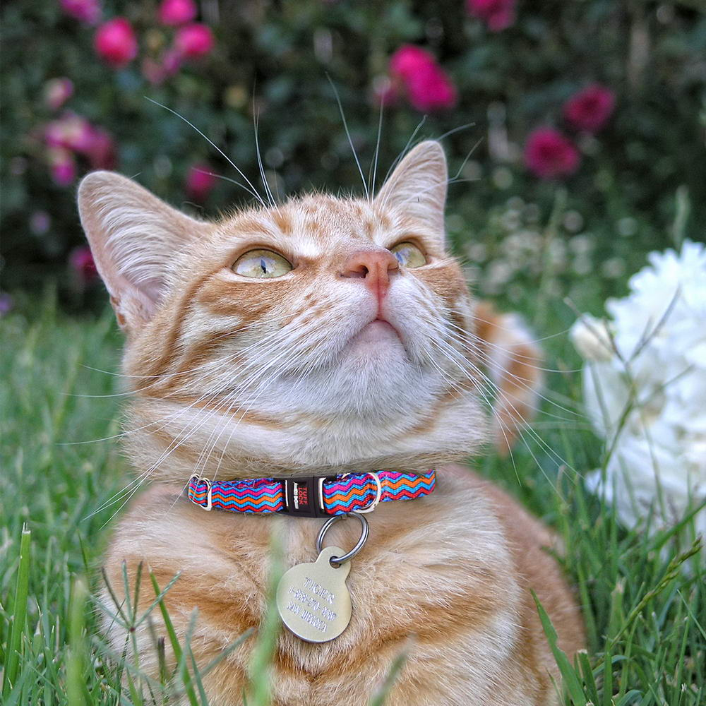 Premium Tuff Lock Cat Collar on orange kitty