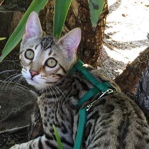 Tuff Lock Cat Harness 1_resize